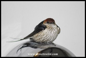 Greater Striped Swallow