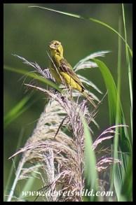 Brimstone Canary