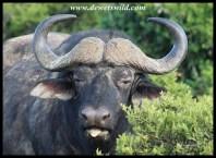 Buffalo, seemingly not enjoying the grass...