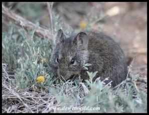 Bush Karoo Rat