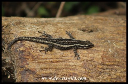 Common Dwarf Gecko