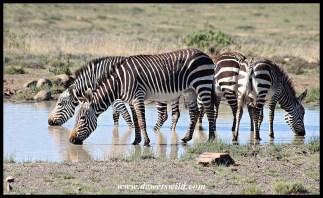 Mountain Zebras drinking