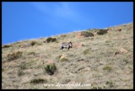 Cape Mountain Zebra showing how they got their name
