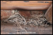 Cape Wagtail nest