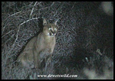Caracal in th dark near Camdeboo's campsite