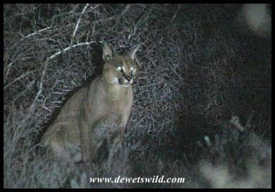 Caracal in th dark near Camdeboo's campsite