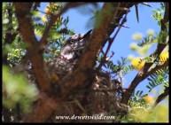 Chestnut-vented Warbler on nest