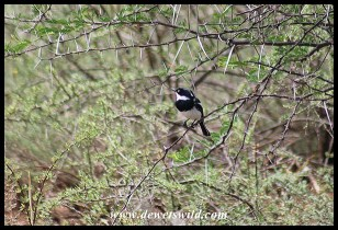 Chinspot Batis