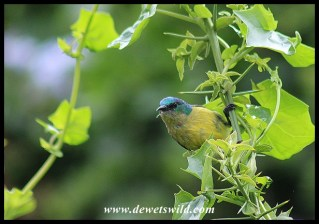 Collared Sunbird (immature male)