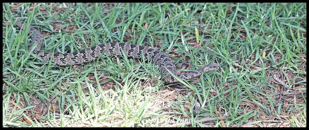 Common Night Adder