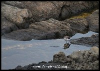 Common Sandpiper at a rock pool in the Tsitsikamma