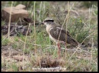 Crowned Lapwing (immature)
