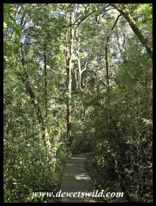 Boardwalk through the forest at Diepwalle