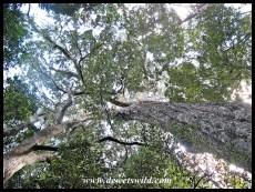 The King Edward VII Tree is an impressive specimen of the Outeniqua Yellowwood (Podocarpus falcatus)