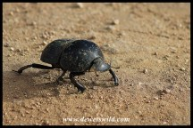 Flightless Dung Beetle