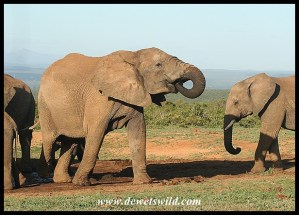 Addo Elephants