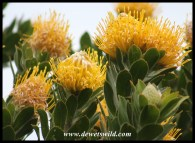 Tree Pincushion (Protea conocarpodendron)