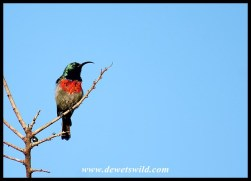Male Greater Double-collared Sunbird