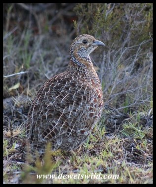 Grey-winged francolin