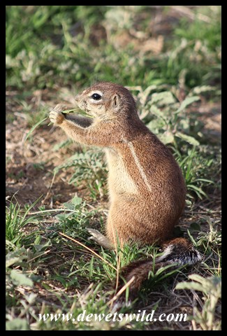 Southern African Ground Squirrel