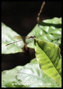Delicate damselfly in the forest