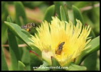 Honey Bees harvesting nectar from a sourfig flower