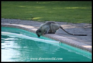 Vervet Monkey drinking from the swimming pool at Bulkraal Picnic Site