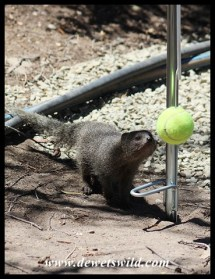 Cape Grey Mongoose playing swingball