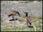 Egyptian Geese at Karoo National Park's birdhide