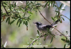 Fairy Flycatcher