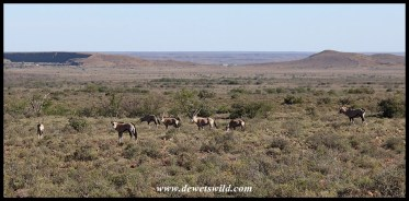 Gemsbok melting into the landscape