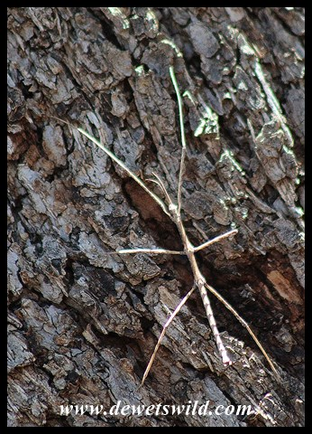 Stick insect clinging to a tree trunk