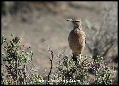 Karoo Long-billed Lark