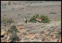 Klipspringer pair