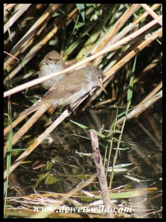 Lesser Swamp Warblers