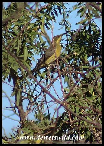 Female Malachite Sunbird