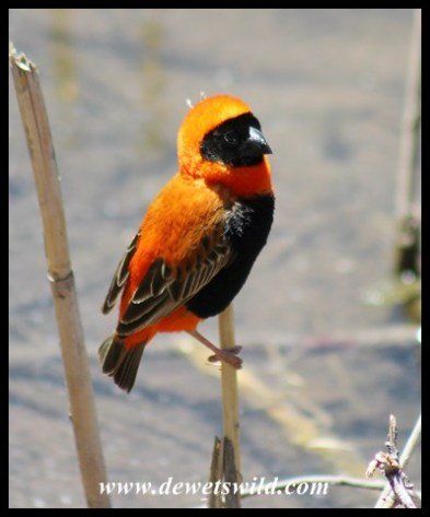 Red Bishop at the Birdhide in the camp at Karoo National Park