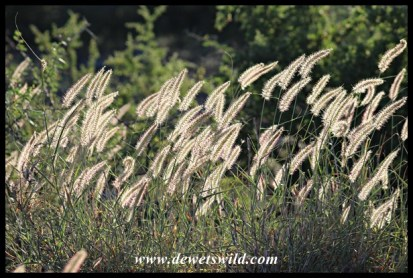 Grass flowers swaying in the breeze