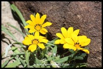 "The Karoo is rich in hardy flowering plants. This is the Botterblom (""Butter Flower"")"