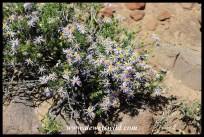 The Karoo is rich in hardy flowering plants