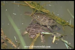 Marsh Terrapins at the hide in Karoo National Park