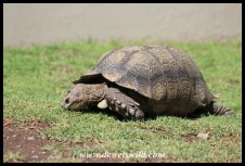 Leopard Tortoise in the camping area at Karoo National Park