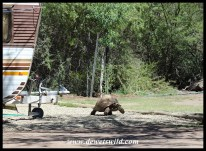 Several large Leopard Tortoises are right at home in the camping area at Karoo National Park