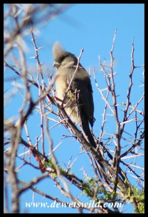 White-backed Mousebird