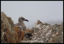 Kelp Gull chick on nest