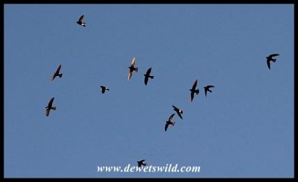 Little Swifts