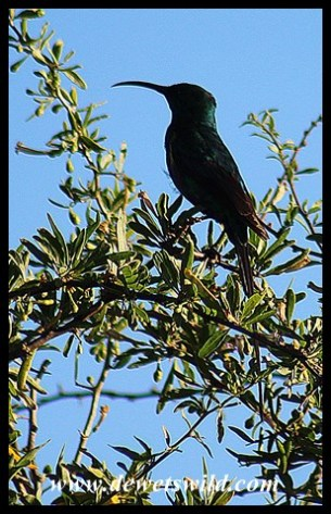 Malachite Sunbird (unusually dark form)