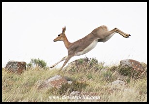 Mountain Reedbuck