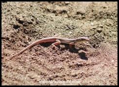 Namaqua Sand Lizard