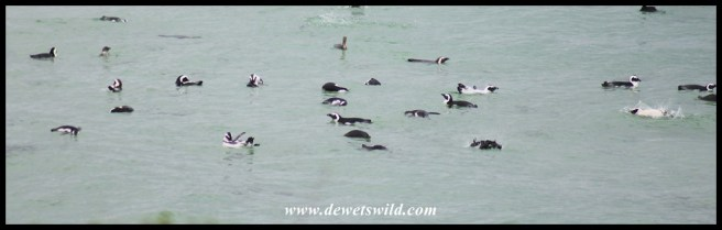 African Penguins swimming at Boulders Beach